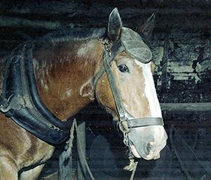 Pit Horse Sam, Stockrington Number 2 Colliery, NSW, 31 October 1978
